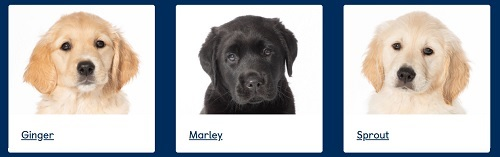 Sponsor Ginger, Marley Or Sprout, guide dog pups